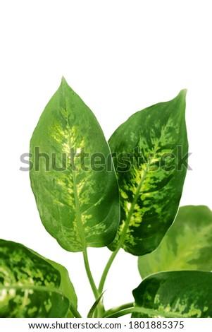 Exotic houseplant with white (Dieffenbachia Camilla)  green leaves                  Foto stock ©