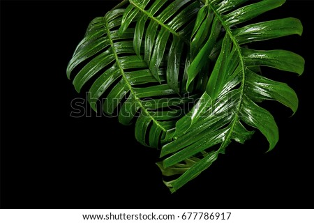 Exotic Hybrid Philodendron leaf, Green leaves of Philodendron isolated on black background, with clipping path - Shutterstock ID 677786917