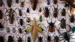 Exotic insects mounted on a board, taxidermy.