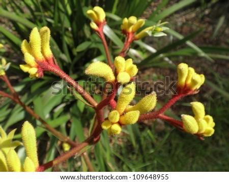 Exotic Kangaroo Paw Flowers