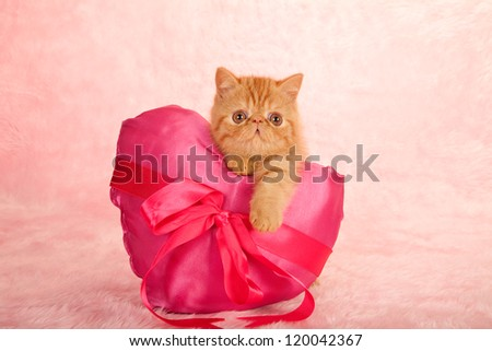Exotic kitten holding large pink satin heart shaped cushion on pink background