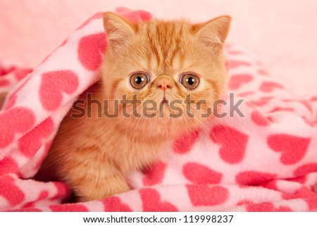 Exotic kitten lying on pink heart print fabric for Valentine theme