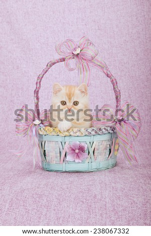 Exotic kitten sitting inside blue and pink basket on pink background