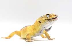 Exotic Lemon Frost Leopard Gecko isolated in bright white background