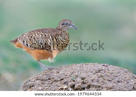 exotic male of barred buttonquail or common bustard-quail (Turnix suscitator) common ground bird in thailand shooting in close up Photo stock ©