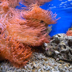 Exotic marine aquarium environment with pink actinia. Underwater view. Zoology, biology, wildlife, environmental conservation, research, education, zoo laboratory, graphic resources