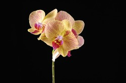 exotic orchid on black