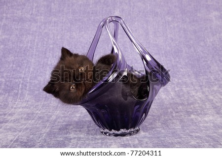 Exotic Persian kitten in purple glass vase on lilac background