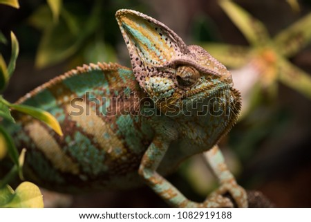 Exotic pet lizard on natural background, defocused. Chameleon rests on branches among leaves, close up. Wild life and reptiles concept. Chamaeleo calyptratus with light green, yellow and brown skin #1082919188