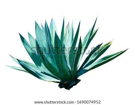 exotic plant agave isolated on white background