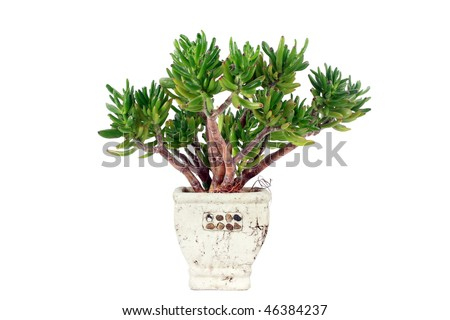 Exotic plant in flowerpot isolate on white.