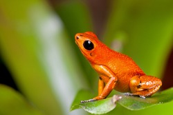Exotic poison dart frog orange poisonous animal of rain forest panama  terrarium pet tropical exotic herp species of jungle