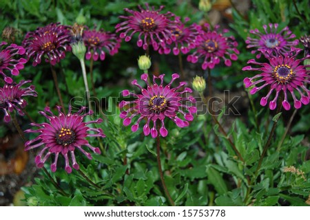 Exotic purple passion flowers