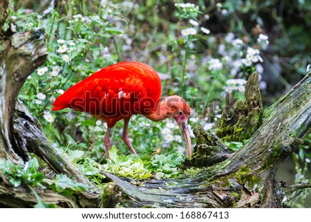 Exotic red bird feeding on old tree.