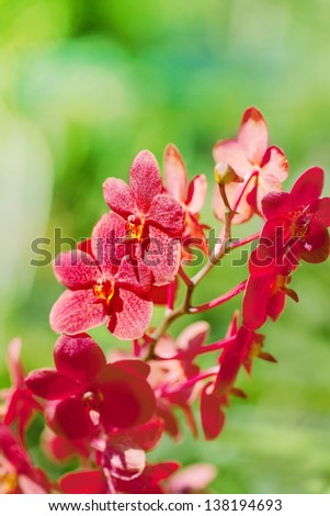 exotic red orchids growing on island Bali