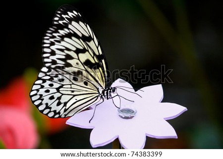 Exotic Rice Paper butterfly drinks sugar water from a fake wooden flower. Even the experts can be fooled.