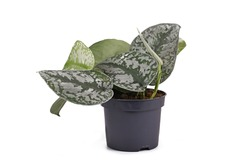 Exotic 'Scindapsus Pictus Exotica' or 'Satin Pothos' houseplant with large leaves with velvet texture and silver spot pattern in flower pot isolated on white background