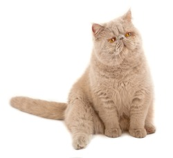 Exotic short-haired cat. Color violet.