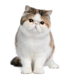 Exotic shorthair cat, 8 months old, sitting in front of white background