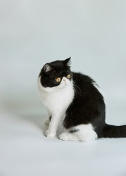 Exotic shorthair cat Sit-down Black and White