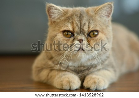 Exotic Shorthair Cat with wide eyes sitting on a wooden table looking into camera giving funny expressions #1413528962