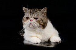 Exotic Shorthair grey kittens on a black background.