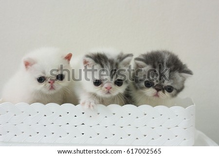 exotic shorthair kitten   #617002565