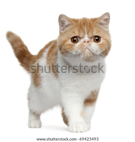 Exotic Shorthair kitten, 4 months old, standing in front of white background