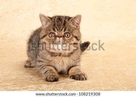 Exotic tabby kitten on gold beige background