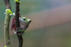 Exotic tree frog on hunting.