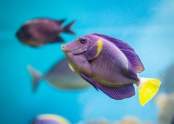 Exotic tropical fish purple Yellowfin surgeonfish Acanthurus xanthopterus closeup