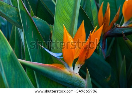 Exotic tropical flower Strelizia Reginae also named Bird of Paradise. Native to South Africa. - Shutterstock ID 549665986