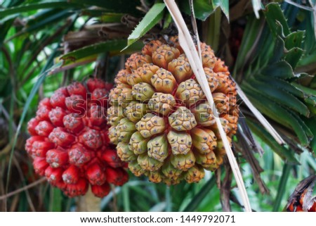 Exotic tropical fruit Pandanus tectorius, Hala fruit Stok fotoğraf ©