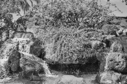 Exotic Waterfall with Foliage.  Tropical scene with palm trees and bougainvillea plants in black and white.