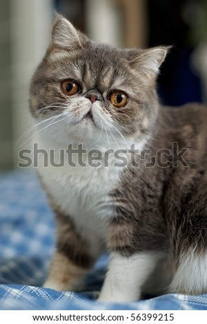 Exotics cat breed - stock photo