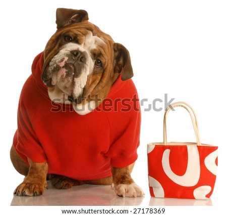 expensive dog - english bulldog in red sweater with matching purse