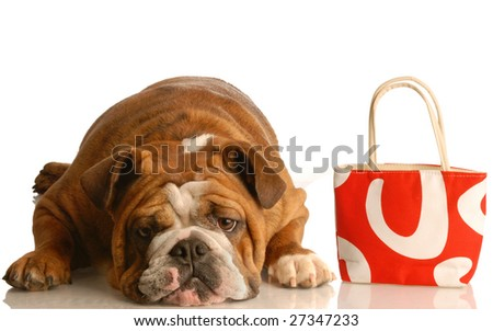 expensive vet bill - english bulldog laying down beside red purse