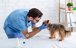 Experienced veterinarian performing physical exam on little dog in animal clinic