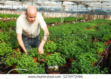 Experienced worker gardening in glasshouse, checking plants of fresh melissa #1276972486