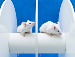 Experimental mice are placed on the rotating rod to animal test in the Laboratory