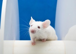 Experimental mouse is placed on the rotating rod to animal test in the Laboratory