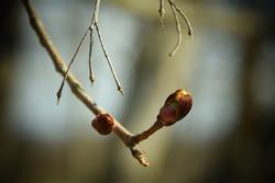 Explosive linden tree buds. Stock Photo