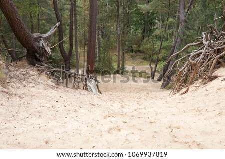 Exposed pine tree roots in sand  #1069937819