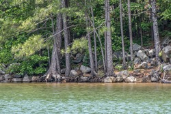 Exposed roots on the conifers from erosion hanging on the edge surrounded by boulders and rocks at the shoreline on the lake closeup on a sunny day in springtime