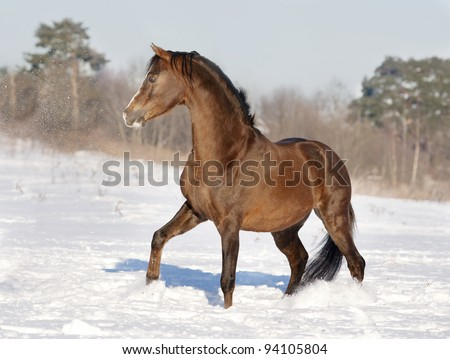 expressive brown welsh pony stallion sector B