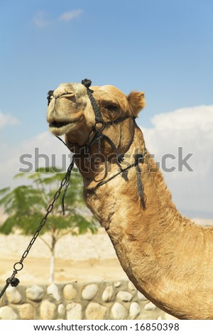 Expressive head of a camel with a bridle  on a background of the sky