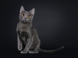 Expressive Korat cat kitten, sitting side ways. Looking at camera with big orange eyes. One paw playful in air. Isolated on black background.
