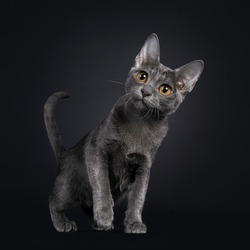 Expressive Korat cat kitten, standing side ways. Looking curiously above camera with big orange eyes. One paw playful in air. Isolated on black background. Tail fierce in air.