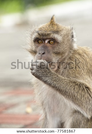 Expressive Macaque (Monkey)