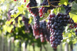 exquisite and ripe grapes in nature